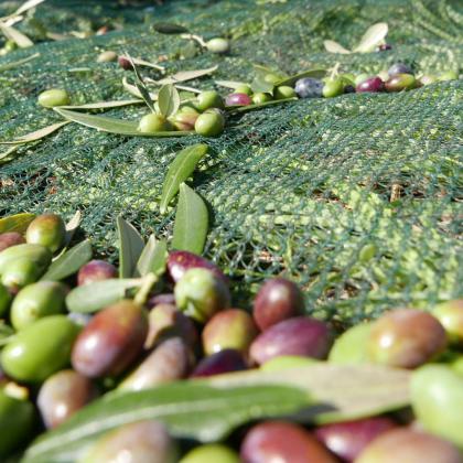 Dalla raccolta delle olive all'olio extra vergine nel Parco Rurale Satia